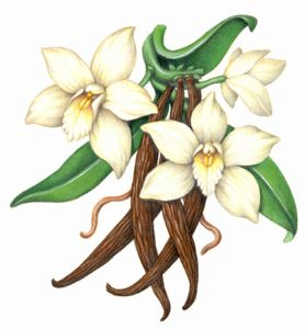 The Vanilla Orchid ( )