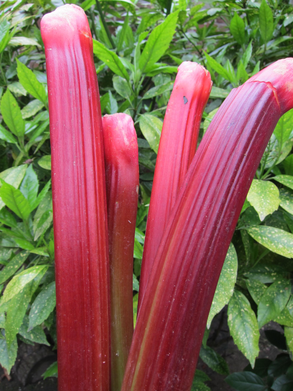 Rhubarb (Rheum rhabarbarum).